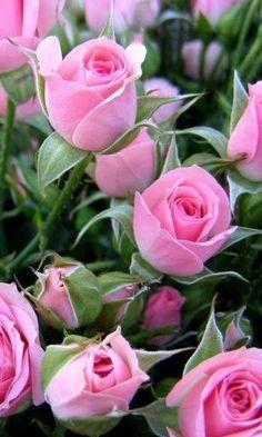 Ramo 12 Rosas Rosadas, Ramos a Domicilio, Ramos de Rosas para Regalo, Ramo para Regalar el Día de la Madre, Ramo para Regalar en Nacimientos