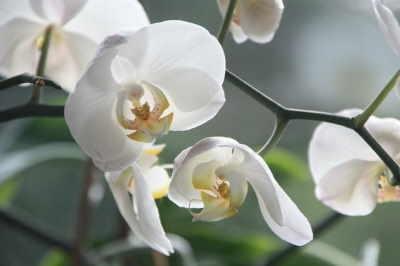 Planta Orquídea 2 Varas Extra, Plantas de Decoración, Plantas para Regalar, Envíos Florales Urgentes, Floristería Online, Comprar Flores Online