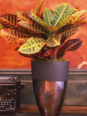 Planta Croton, Planta para Oficina, Planta de Decoración, Planta para Regalar, Comprar Flores Online, Floristería Online